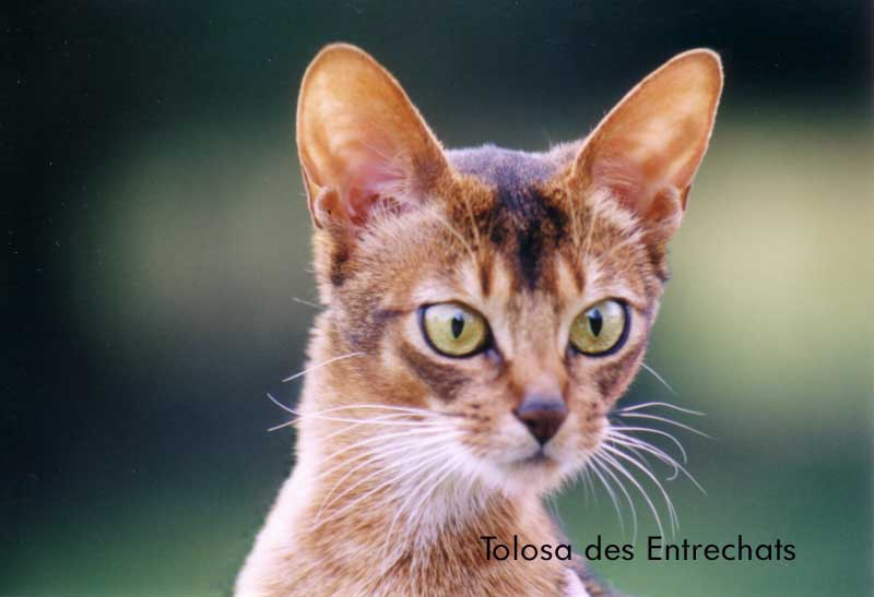 liebste katzenrasse der welt